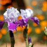 Wild Iris Family Counseling & Crisis Center